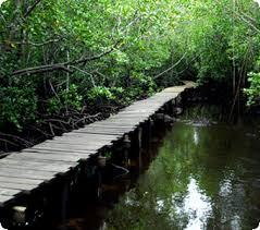 walking on the mangrove